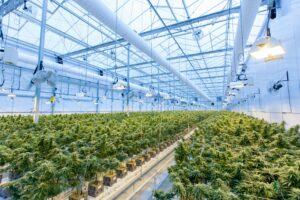 buy medical marijuana australia